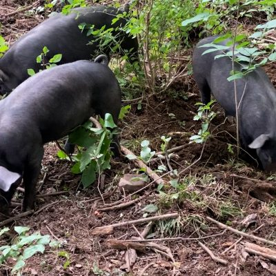 Pig Quality Time: Thoughts about Pigs vs. Dogs & other ramblings…